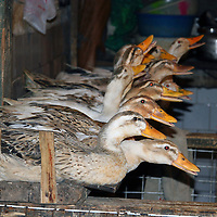 Asia, China, Chongqing. Ducks for sale in local Chinese market.