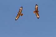 Common buzzard (Buteo buteo) in flight. This bird of prey is found throughout Europe and parts of Asia, inhabiting open areas, such as farmland and moors, and wooded hills. It grows up to 50 centimetres in length and feeds on small birds, mammals and carrion. Photographed in Israel in April