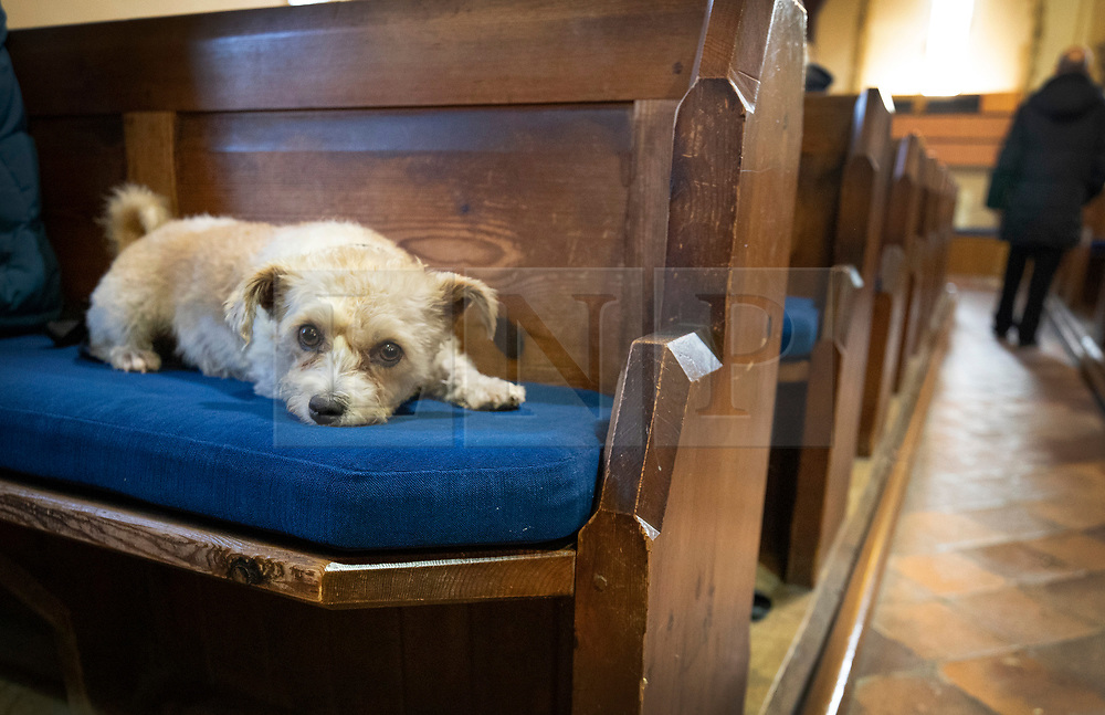 © Licensed to London News Pictures. 06/10/2019. Selsey, UK. Bella, a Bichon Frise/Jack Russell cross, rests on a pew during the annual Service of Blessing of Animals at St Peter's Church in Selsey, West Sussex. Parishioners bring their pets to the church for the annual service after earlier attending a Harvest Festival celebration. Photo credit: Peter Macdiarmid/LNP