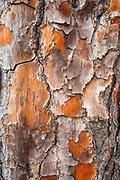 Detail of Torrey Pine bark, Santa Rosa Island, Channel Islands National Park, California USA