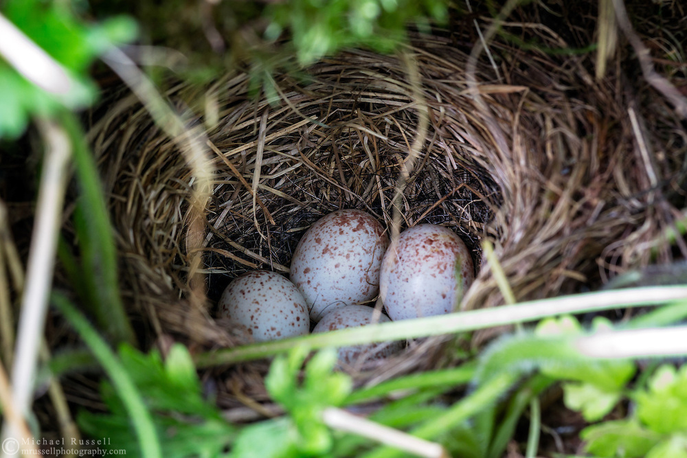 Dark-eyed Junco (Junco hyemalis) eggs in a ground level nest in the Fraser Valley of British Columbia, Canada