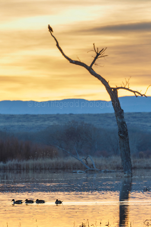 Bald eagle in tree overlooking pond and swimming ducks, Bosque del Apache, National Wildlife Refuge, New Mexico, USA.