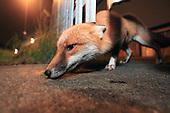 Bristols Urban Foxes - The Estate
