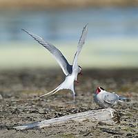 Two Arctic Terns feeding in Svalbard.