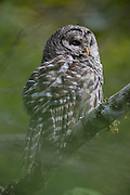 A barred owl (Strix varia) looks out from its perch in the forest along Spada Lake in Snohomish County, Washington.