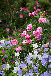 Rosa gallica var. officinalis 'Versicolor' - Rosa mundi rose, Apothecary's rose, French rose - growing with campanulas and geraniums in a border in the rose garden at Mottisfont. Rosa 'Complicata' beyond