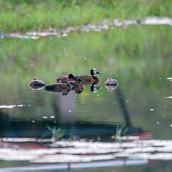 """""""Irerê (Dendrocygna viduata) fotografado em Burarama, distrito do município de Cachoeiro de Itapemirim, no Espírito Santo -  Sudeste do Brasil. Bioma Mata Atlântica. Registro feito em 2018.<br /> ⠀<br /> ⠀<br /> <br /> <br /> ENGLISH: White-faced Whistling-duck photographed in Burarama, a district of the Cachoeiro de Itapemirim County, in Espírito Santo - Southeast of Brazil. Atlantic Forest Biome. Picture made in 2018."""""""