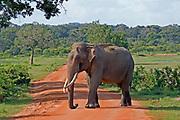 Asian elephant bull with big tusks walking across road, Yala National Park, Sri Lanka