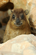 Israel, The Rock Hyrax, (Procavia capensis)