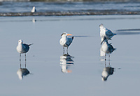 Royal tern, Sterna maxima, and Laughing gulls, Larus atricilla, at the mouth of the Tarcoles River, Costa Rica