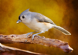 A Tufted Titmouse snacking on a seed in a tree