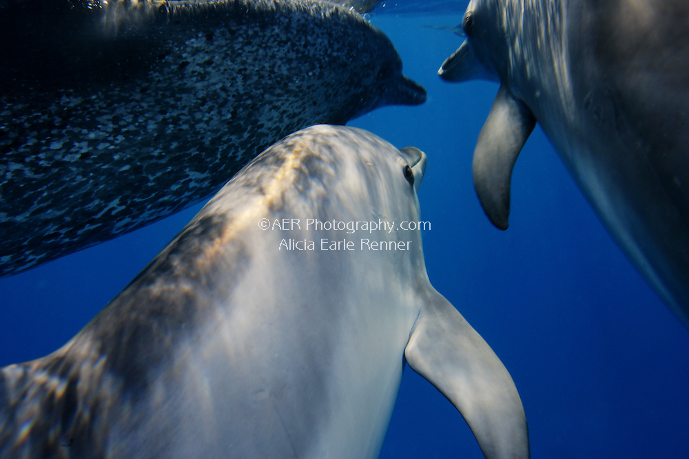 Spotted Dolphin Pod swim together