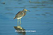 00697-00706 Tricolored Heron (Egretta tricolor) Laguna Atascosa National Wildlife Refuge   TX