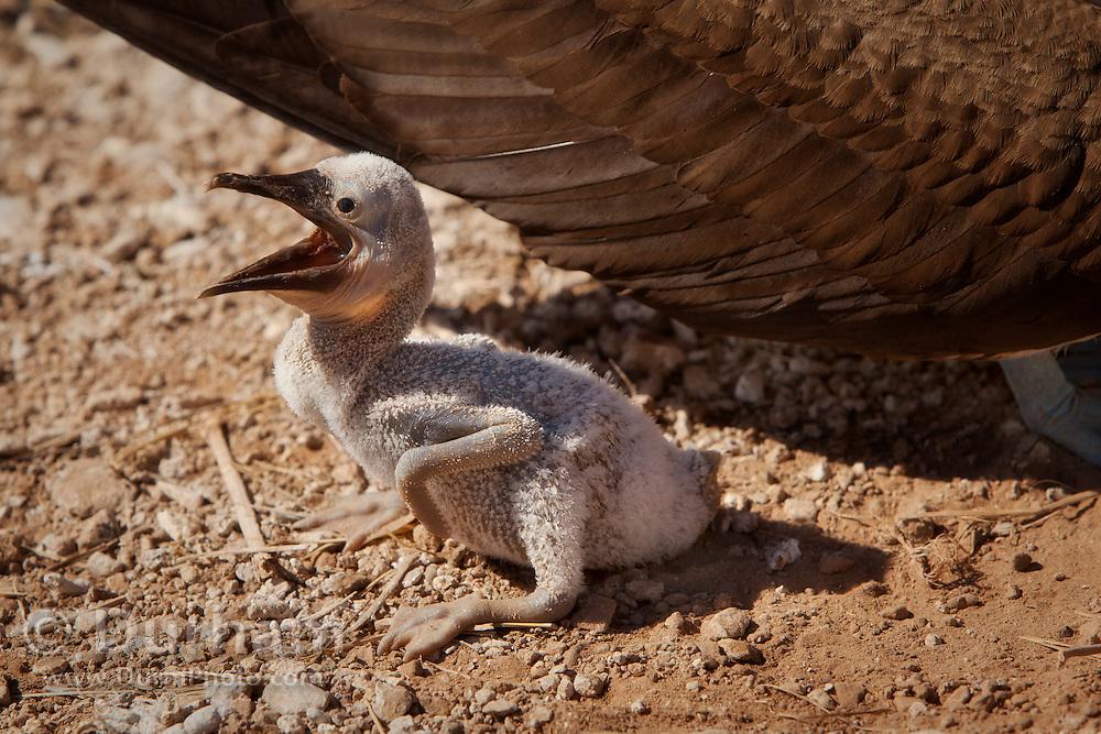 A blue-footed booby chick ground nesting (Sula nebouxii) on Espanola Island, Galapagos Archipelago - Ecuador.