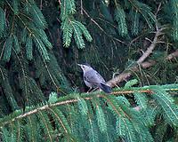 Gray Catbird. Image taken with a Nikon D2xs camera and 105 mm f/2.8 macro lens.