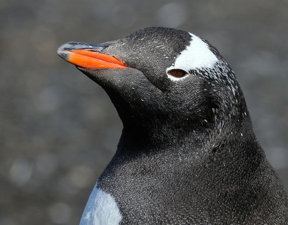 Portrait of a gentoo penguin (Pygoscelis papua). Prion Island, South Georgia. 19Feb16