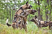 African wild dogs playing.  Zimbabwe
