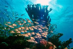 school of smallmouth grunt, Haemulon .chrysargyreum, and elkhorn coral, Acropora .palmata, Molasses Reef, Key Largo, Florida.Keys National Marine Sanctuary (Atlantic).