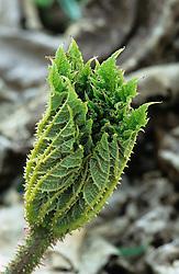 Emerging bud of Gunnera manicata