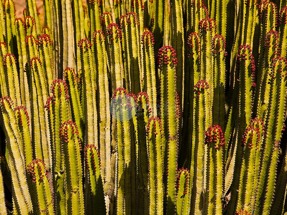 Cardon canario (tabaiba salvaje). (Euphorbia canariensis)<br />  ©Country Sessions / PILAR REVILLA