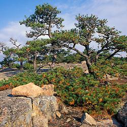 Acadia NP, ME.  Pitch Pine, Pinus Rigida.  On Cadillac Mountain.