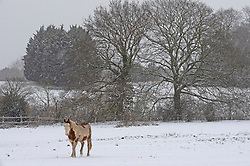 © Licensed to London News Pictures 09/02/2021.        Bromley, UK. A horse in his snow covered field. The snow continues to fall in the Borough of Bromley, South East London today. Weather warnings remain in place across the UK for more freezing cold snowy weather. Photo credit:Grant Falvey/LNP