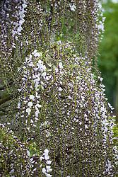 Wisteria floribunda 'Kimono'