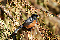 Spotted Towhee (Pipilo maculatus), Gabriola, British Columbia, Canada.    Photo: Peter Llewellyn
