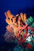 UNDERWATER MARINE LIFE CARIBBEAN, generic Yellow tube sponge Demospongiae