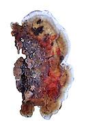 Stereum gausapatum
