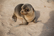 A young california sea lion (Zalophus californianus)  on the beach of North Seymour Island, Galapagos Archipelago - Ecuador.