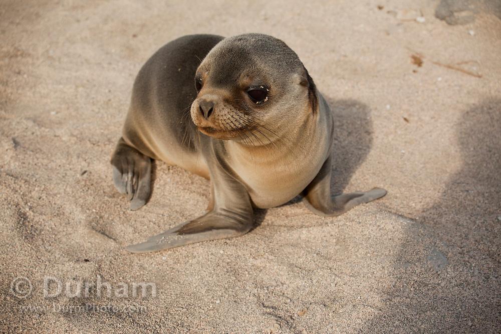 A young california sea lion (Zalophus californianus)  on the beach of North Seymour Island, Galapagos Archipelago - Ecuador.