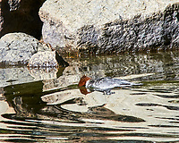 Common Merganser (Mergus merganser). Yosemite National Park, California. Image taken with a Nikon D300 camera and 80-400 mm VR lens.