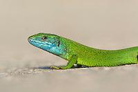 European Green Lizard, Lacerta viridis, Östliche Smaragdeidechse, near Nikopol, Bulgaria