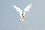 Forster's Tern feeds by plunge-diving for fish, Bolsa Chica.  Forster's tern is most similar to the Common Tern.