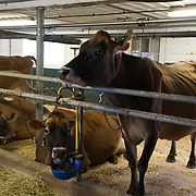 Cows feeding in the barn