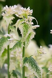 Lunaria annua var. albiflora 'Alba Variegata'. Variegated honesty