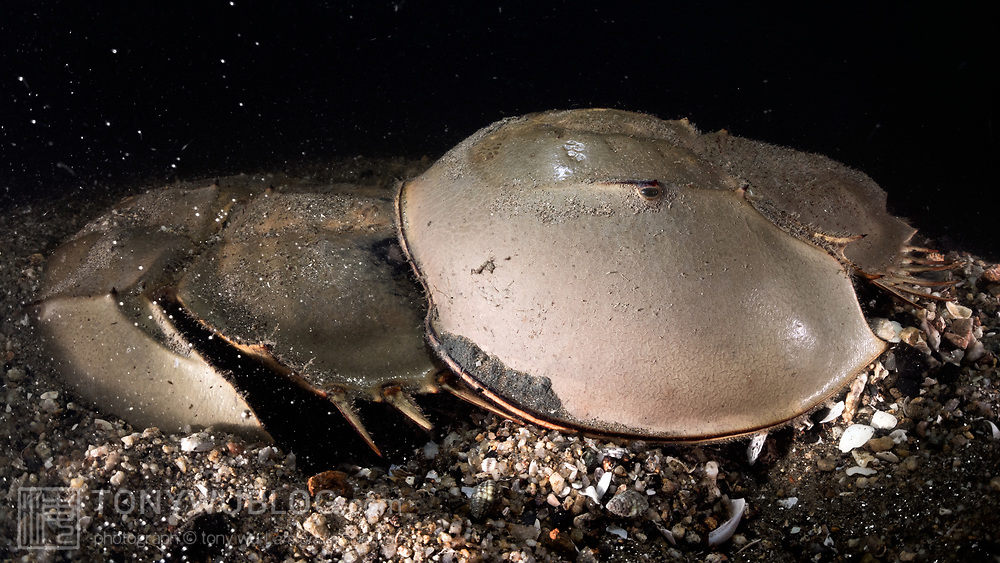 This is a pair of endangered tri-spine horseshoe crabs (Tachypleus tridentatus) engaged in spawning. The male is clearly visible, clasped onto the rear of the female. He is fertilizing eggs being deposited by the female, whose head is buried in the substrate.<br /> <br /> Although these animals are called crabs, they are not members of the Subphylum Crustacea. They belong to a separate Subphylum—Chelicerata—which also comprises sea spiders, arachnids, and several extinct lineages such as sea scorpions. The earliest known fossils of horseshoe crabs date back 450 million years ago, qualifying these animals as living fossils, as they have remained largely unchanged.<br /> <br /> Tachypleus tridentatus is the largest of the four living species of these marine arthropods, all of which are endangered.<br /> <br /> Though habitat loss and overharvesting of these animals for food are primary contributors to the population decline of horseshoe crabs, the biomedical industry is also a major factor. Horseshoe crabs are bled for their amoebocytes (akin to white blood cells), which are used to derive an extract that reacts in the presence endotoxin lipopolysaccharide, which is found in the membranes of gram-negative bacteria. Estimates suggest that between three and 30% of the animals die as a result. There have also been suggestions that taking up to a third of each animal's blood adversely affects their ability to undertake vital functions, such as procreation, even if the animals survive.<br /> <br /> Synthetic substitute tests have been available since 2003. The biomedical industry has however been reluctant to discontinue the practice of bleeding live animals.