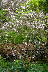 Magnolia × loebneri 'Leonard Messel' AGM