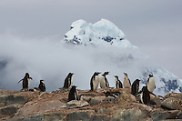 Gentoo Penguin (Pygoscelis papua) with the peaks of Wiencke Island in background.  Port Lockroy, Wiencke Island..