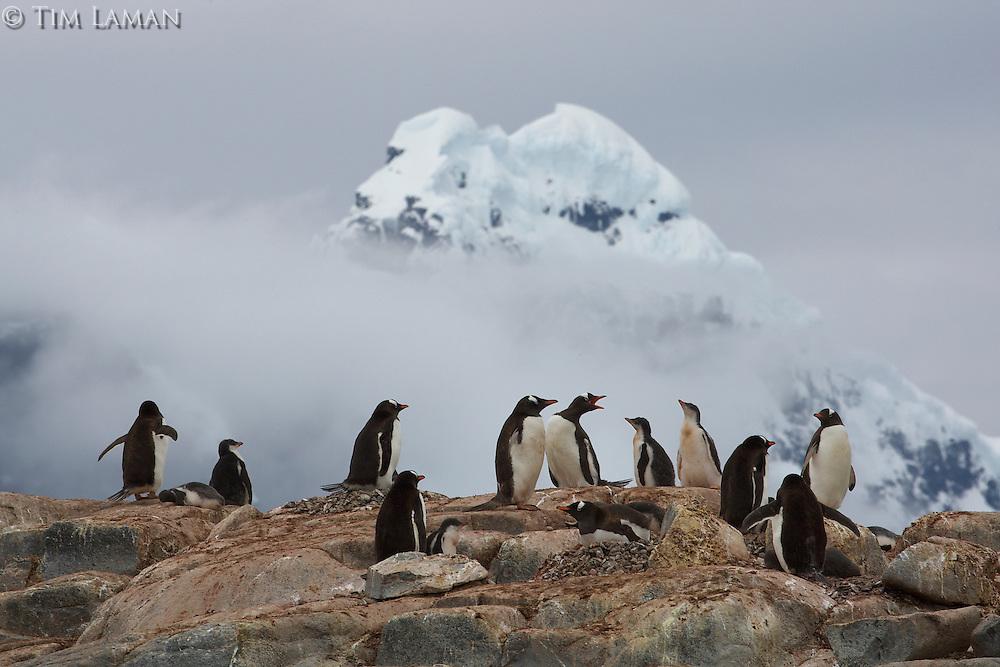Gentoo Penguin (Pygoscelis papua) with the peaks of Wiencke Island in background.  Port Lockroy, Wiencke Island..