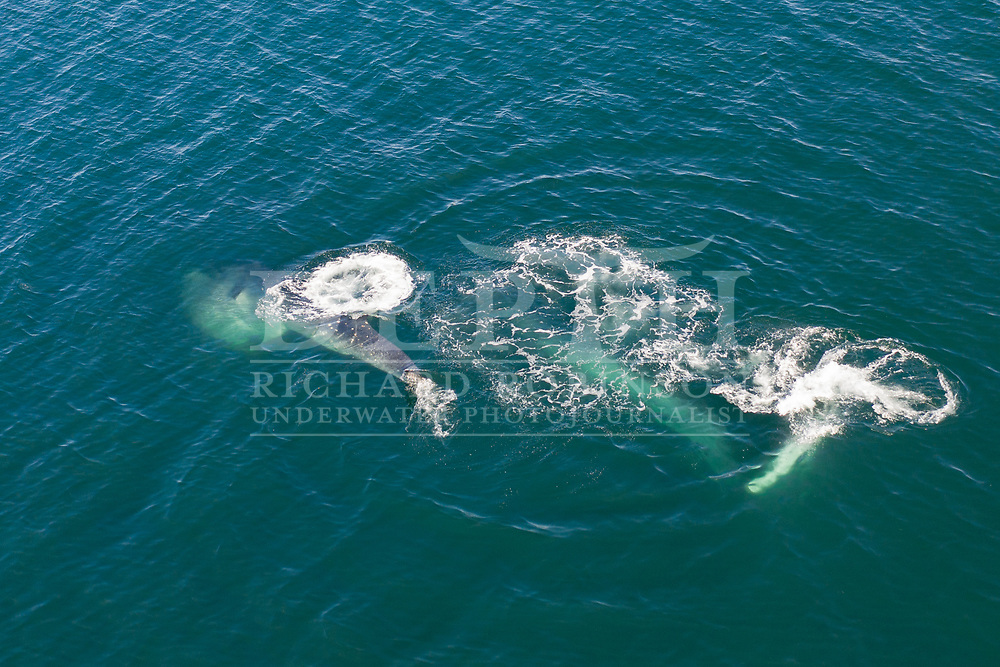 Balaenoptera edeni (Bryde's whale) in the Hauraki Gulf, Auckland, New Zealand.<br /> Photographed under permit. <br /> Wednesday 09 October 2019<br /> Photograph Richard Robinson © 2019