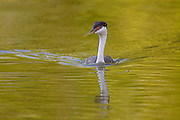 Stock photo of western grebe captured in Colorado.  These grebes are the largest of the North American grebes.