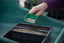 Sowing biennial foxgloves in a seed tray. Covering with grit. Digitalis 'Pam's Split'
