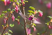 An Anna's hummingbird (Calypte anna) flies away after feeding on a red flowering currant (Ribes sanguineum).