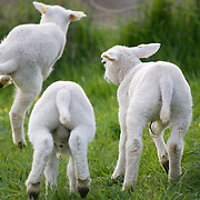 Nederland Barendrecht 5 april 2009 20090405 Foto: David Rozing ..Jonge lammetjes spelen in de wei, lente, lenteweer.Little lambs playing in field in springtime..Foto: David Rozing/