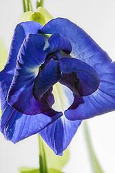Blue Butterfly Pea, clitoria ternatea#6
