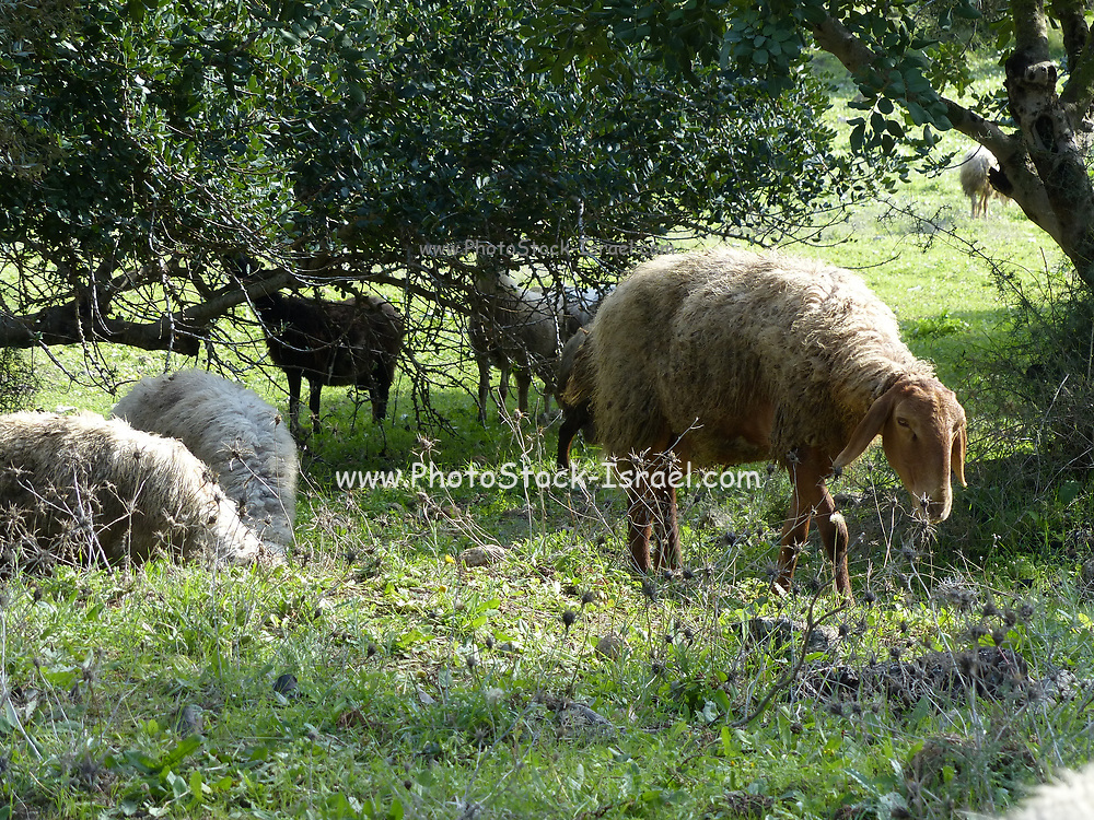 A herd of sheep grazes in a green field pasture Photographed in Israel in January