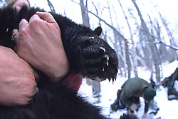 Black Bear Yearling Paws