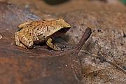 Plethodontohyla sp. (possibly P. notosticta), from Palmarium, eastern Madagascar.